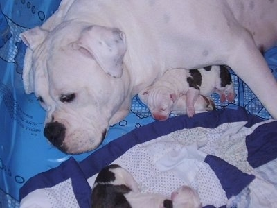 Two week old American Bulldog puppies with their mother Gracie