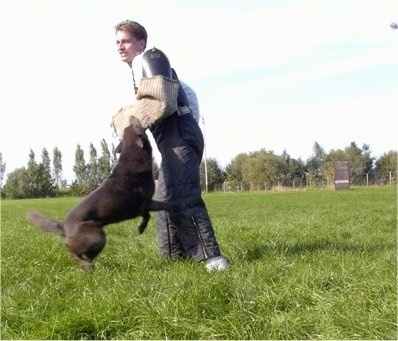 Smoky the Australian Kelpie practicing schutzhund attacking pads on a trainers arm