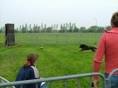 The left side of an Australian Kelpie that is racing across a lawn. Two people are watching it run.