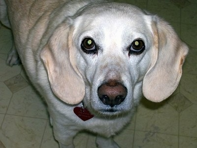 Close Up - A white and tan Labbe is standing on a tan tiled floor and looking up