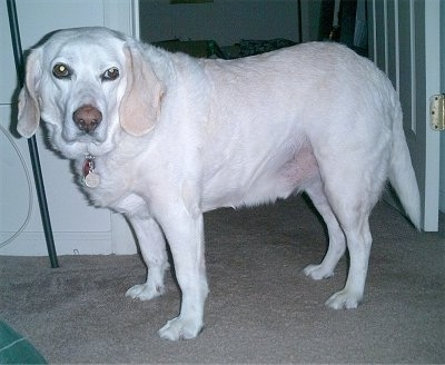 A white and tan Labbe is standing on a tan carpet in front of a doorway and looking to the left