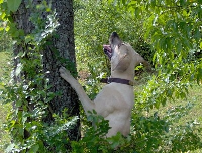 Moonpie the Black Mouth Cur jumping up at and looking up a tree