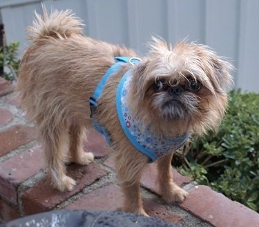 Oskar the Brug wearing a blue harness standing on a brick wall looking at the camera holder