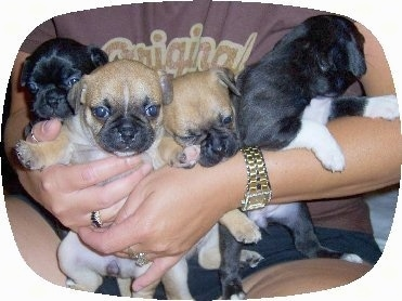 Four Buggs puppies being held closely against a person who is wearing a gold watch