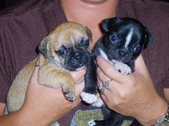 Two Buggs Puppies being held close to a persons chest