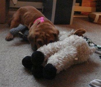 Bailey the Ba-Shar as a puppy laying on a carpet in front of a couple plush toys