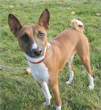 Oringo the Basenji standing outside wearing a pink collar