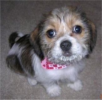 Close Up - Misha the Bea-Tzu as a puppy sitting on a carpet