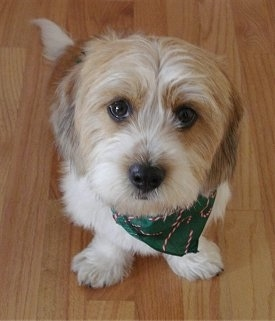 Snickers the Bea-Tzu wearing a green bandana sitting on a hardwood floor