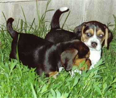 Two Beagle Puppies standing in tall grass in front of a rock structure