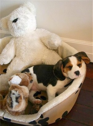 Fifa the Beaglier puppy sleeping in a dog bed with Plush animals surrounding him