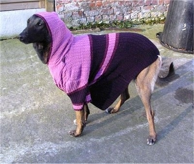 Zaita the Belgian Malinois wearing a sweater with a hood over its head