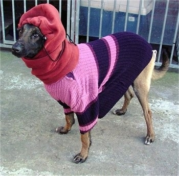 Zaita the Belgian Malinois wearing a sweater and a hoodie