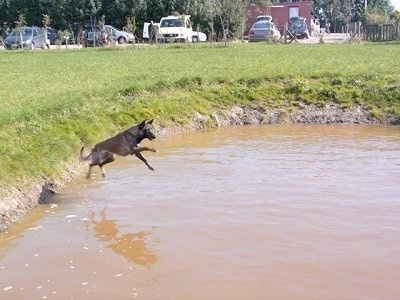 Action shot - Zaita the Belgian Malinois in mid-air jumping into a pond