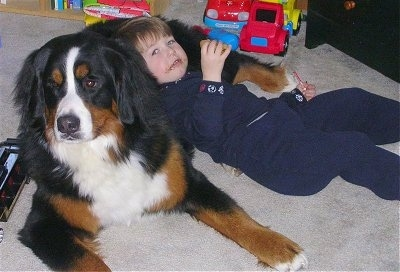 Tally the Bernese Mountain Dog with a little boy leaning against his belly while eating a snack