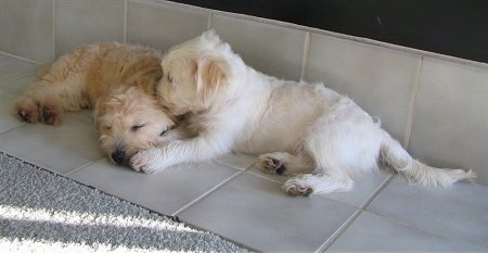 Two Bichon-A-Ranian Puppies are laying on a tiled part of a floor and they are laying face-to-face.