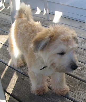 The front right side of a tan Bichon-A-Ranian puppy that is standing across a wooden porch