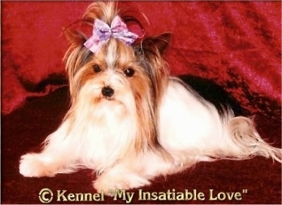 Paddy the Biewer laying on a backdrop with the words '©Kennel My Insatiable Love' overlayed