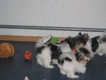 Three Biewer puppies playing with dog toys in a room
