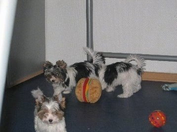 Three Biewer Puppies Playing in a room with a hamburger plush toy a ball and a rope toy