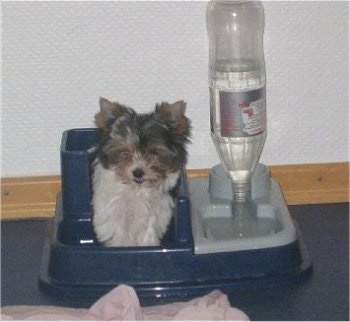 Biewer Yorkie puppy sitting in the food part of a dog food/water bowl