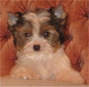 Rare Dog Breed Biewer Biewer Breeders Biewer Puppies Biewer Picture ...