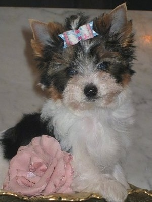 Biewer Yorkie puppy sitting on a golden leaf with a ribbon in its hair and a pink rose flower next to it