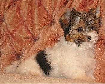 Biewer Yorkie puppy sitting on a peach colored sofa
