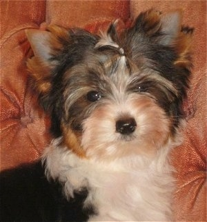 Close Up - Biewer Yorkie Puppy on a couch