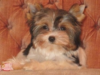 Biewer Yorkie Puppy laying on a couch next to a ribbon