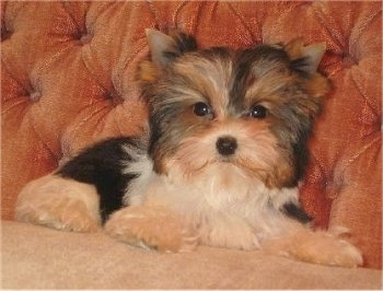 Biewer Yorkie Puppy laying on a couch and looking at the camera holder