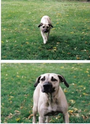 Top Photo - Tikka the Black Mouth Cur moving towards the camera holder, Bottom Photo Close Up - Tikka the Black Mouth Cur standing on grass