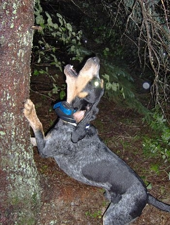 Clements Blue Prancer the Bluetick Coonhound barking up a tree