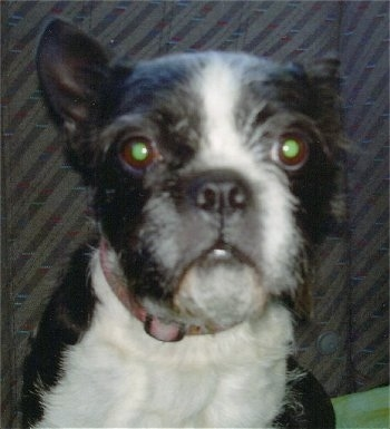 Sinting is three quarters Boston Terrier / one quarter Shih Tzu