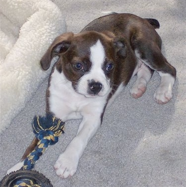 Marley the Boglen Terrier as a puppy sitting on the carpet next to a dog bed with a rope toy and a toy wheel