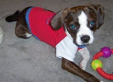 Close Up - Marley the Boglen Terrier laying on the carpet wearing a red white and blue t-shirt with a ring toy in front of him
