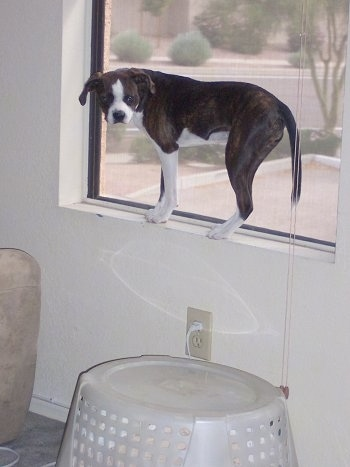 Marley the Boglen Terrier standing on the window sill looking at the camera holder