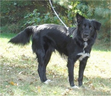 Lab border collie mix full grown border collie lab