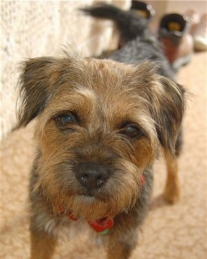 Close-up look of Border Terrier dog