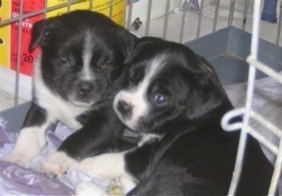 Close Up - Two Boston Lab Puppies are sitting in a dog crate and they are laying head to head.