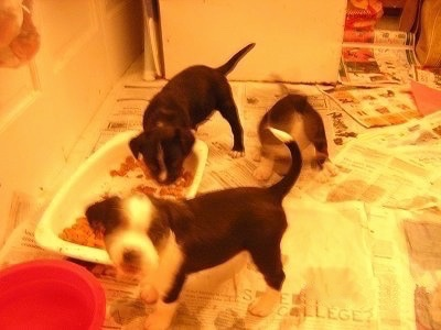 Three Boston Lab Puppies are standing in a room filled with newspapers with one is eating food out of a food bowl one is looking forward and the other is sitting on a newspaper.