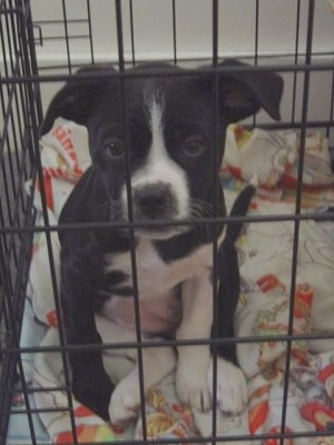 A black with white Boston Lab Puppy is sitting on a blanket, in a dog crate and it is looking forward.