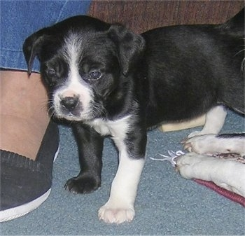 Close Up - The front left side of a black with white Boston Lab Puppy that is standing in front of a couch and next to a persons feet with another dogs paws on the other side of it.