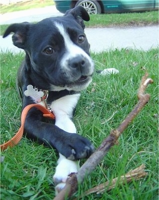 Close up - A black with white Boston Lab is laying in a yard with a stick in front of it.