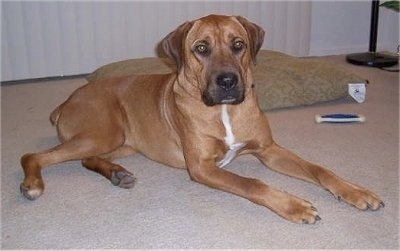 Boxador Dog Breed Pictures, 1