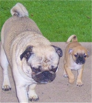 Pug walking with Buggs puppy outside on a patio with grass in the background