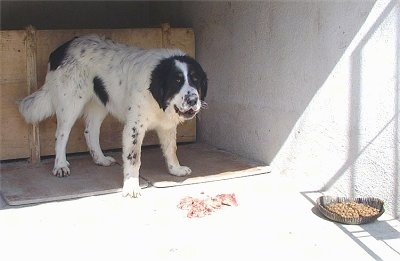 Bulgarian Shepherd Dog standing in a cemented kennel area with raw meat chunks in front of it and a dog food bowl of dry kibble sitting off to the side