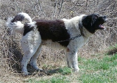 Bulgarian Shepherd Dog standing in grass next to sticks and vines wearing a chain and barking into the distance