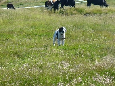 Bulgarian Shepherd Dog standing in a field with a herd of cattle behind it