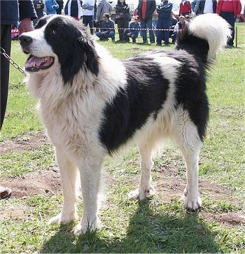 Bulgarian Shepherd Dog Breed Pictures, 1